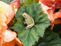 Tree Frog On A Flower Stock Image