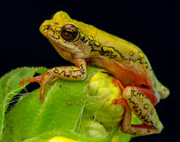 Tree frog on flower 2 Royalty Free Stock Photography