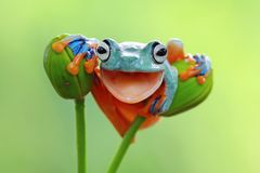 Tree frog, Flying frog closeup with open mouth. Beautiful Tree frog, Flying frog closeup with open mouth Royalty Free Stock Photography