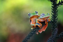 Tree frog, flying frog, frog on branch Royalty Free Stock Photos