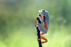 Tree frog, flying frog, javan tree frog, wallace Royalty Free Stock Photography