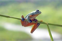 Tree frog, flying frog, javan tree frog, wallace. Tree frog, flying frog, Javan tree frog Stock Photo