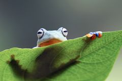 Tree frog, Flying frog on the gree leaf Stock Photography
