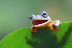 Tree frog, Flying frog hide on leaf. Beautiful Tree frog, Flying frog hide on leaf Royalty Free Stock Image