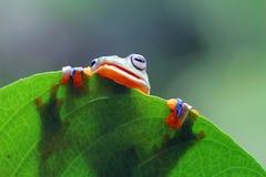 Tree frog, Flying frog hide on leaf. Beautiful Tree frog, Flying frog hide on leaf Stock Image