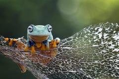 Tree frog, flying frog, javan tree frog. Big dumpy frog on branch Royalty Free Stock Photos
