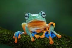 Tree frog, flying frog, javan tree frog. Big dumpy frog on reflection Stock Images