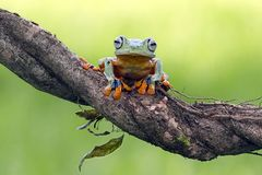 Tree frog, flying frog, javan tree frog, wallace. Tree frog, flying frog, Javan tree frog Royalty Free Stock Images