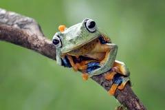 Tree frog, flying frog, javan tree frog, wallace. Tree frog, flying frog, Javan tree frog Royalty Free Stock Image
