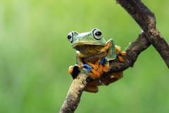 Tree frog, flying frog, javan tree frog, wallace. Tree frog, flying frog, Javan tree frog Stock Photos