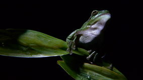 Tree frog. Foreground subject to a lily leaf stock footage