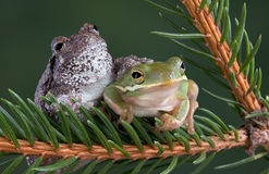 Tree frog friends. A gray and green tree frog are sitting together on an evergreen branch Royalty Free Stock Photography