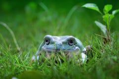 Tree frog, frog, dumpy frog closeupp. Big dumpy frog closeup on grass Royalty Free Stock Photo