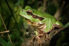 Tree-Frog, Frog, Nature, Macro Stock Images