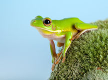 Tree frog in the garden Stock Photos