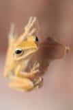 Tree frog on glass Stock Photo