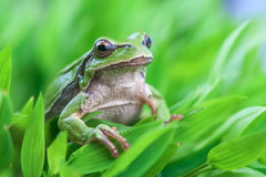 Tree_frog Stock Images