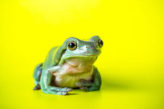 Tree Frog. On a green background Stock Images