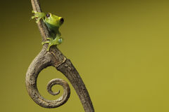 Tree frog on green background copyspace amphibian Stock Images