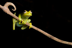 Tree Frog Green Isolated Tropical Amphibian Copy Stock Image