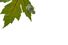 Tree Frog on Green Leaf Royalty Free Stock Photo