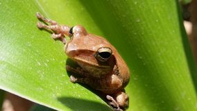 Tree Frog. Frog on green leaf Royalty Free Stock Photo
