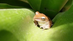 Tree Frog. Frog on green leaf Stock Photos