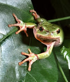 Tree frog on green leaf, preparing to jump Royalty Free Stock Images