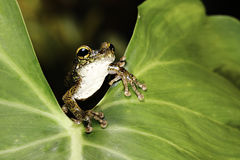 Tree frog on green leaf in tropical rainforest Stock Photography