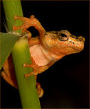 tree frog greeting Royalty Free Stock Photo