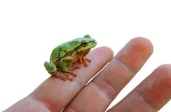 Tree frog on a hand Royalty Free Stock Photo