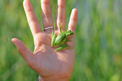 Tree frog in hand. A tiny tree frog hangs securely from the palm of a human hand royalty free stock image