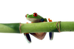 Tree Frog Hanging on Bamboo. Red-eyed tree frog hanging on green bamboo, isolated Royalty Free Stock Images
