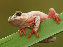 Tree frog hanging on 2. Rare green tree frog spotted hanging onto a reed at the edge of a dam Royalty Free Stock Photos