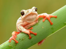 Tree frog hanging on tight. Rare green tree frog spotted hanging onto a reed at the edge of a dam Stock Images