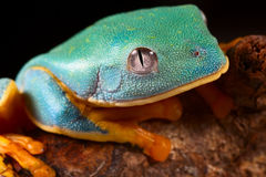 Tree frog head. Tropical rainforest treefrog lives in Amazon rain forest of Panama,Costa Rica,Colombia and Ecuador Animal with bright colors red, blue,orange Stock Photography