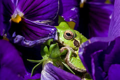 Tree frog hiding Stock Image