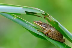 Tree frog hiding behind a palm leaf Stock Images