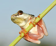 Tree frog high key colour Stock Photo