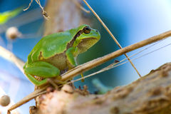 Tree frog Hyla arborea Royalty Free Stock Photography