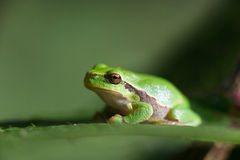 Tree frog Hyla arborea Stock Photo