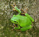 Tree frog Hyla arborea Stock Photography