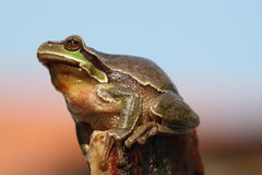 Tree Frog. (Hyla arborea), Czech republic Royalty Free Stock Photography