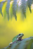Tree frog Hyla arborea Stock Photos