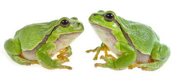 Tree frog - Hyla arborea. Isolated royalty free stock photography