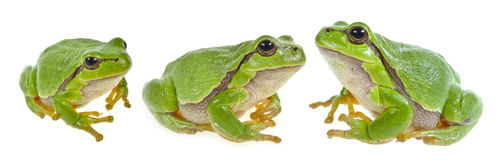 Tree frog - Hyla arborea Stock Photo