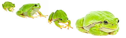 Tree frog - Hyla arborea Stock Images