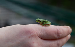 Tree frog Hyla arborea sitting Stock Images