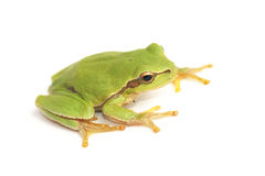 Tree frog Hyla arborea on a white background. Tree frog Hyla arborea, on a white background stock photography