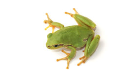 Tree frog Hyla arborea on a white background. Tree frog Hyla arborea, on a white background royalty free stock image